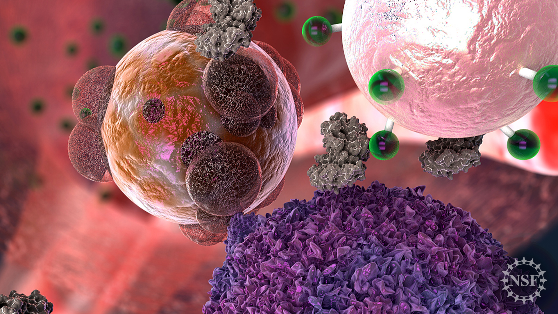 a cell from a transplanted organ is attacked by a T cell