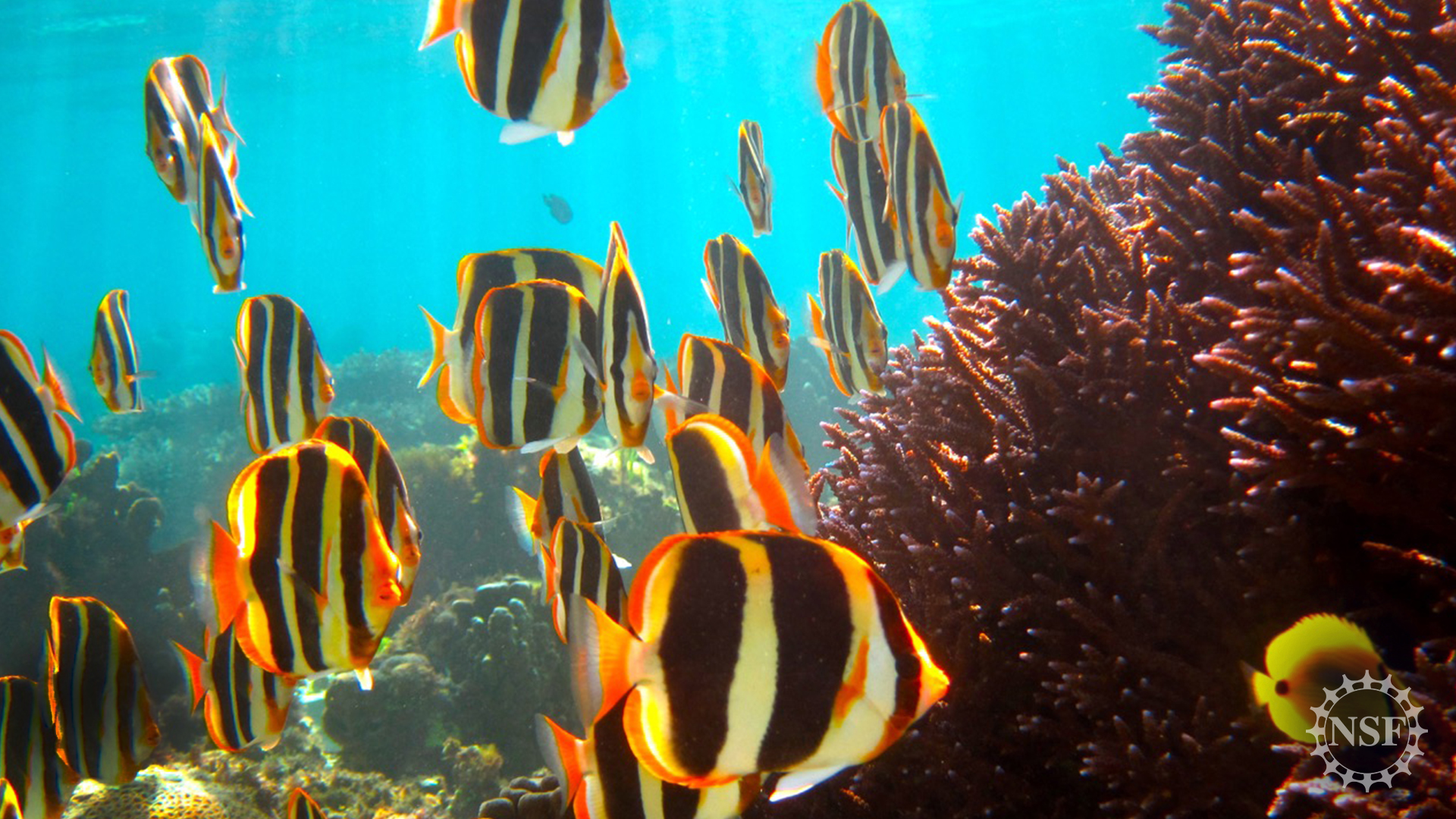 butterflyfish school