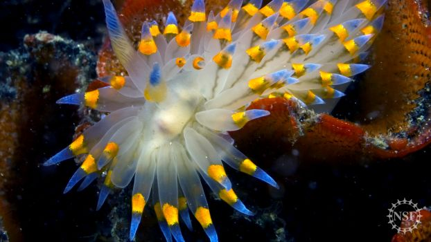 A nudibranch, commonly known as a sea slug