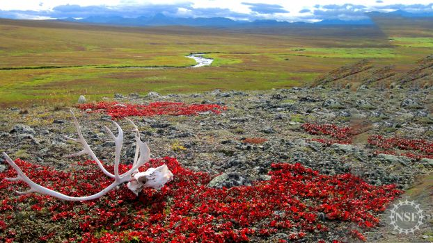 A caribou skull glistens white against the tundra of northern Alaska.